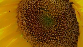 Sunflower Seeds stock video footage