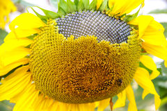 Sunflower with Seeds in the field Stock Photo