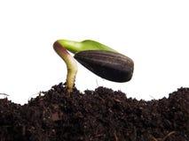 Sunflower seeds germination Stock Image