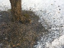 Sunflower seeds husks. Spread out the snow after birds feeding Royalty Free Stock Photos