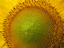 Sunflower seeds. Macro view of the sunflower seeds royalty free stock images