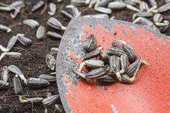 Sunflower seeds on old trowel Royalty Free Stock Photos