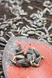 Sunflower seeds on old trowel Royalty Free Stock Photography