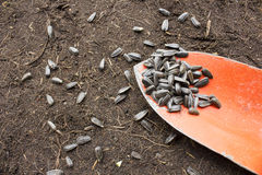 Sunflower seeds on the old trowel. Some sunflower seeds on the old trowel Stock Photo