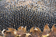 Sunflower seeds on Royalty Free Stock Image