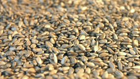 Shelled sunflower seeds on a green background. 2 Shots. Close-up. Horizontal pan. stock video