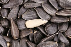 Sunflower seeds in shell and one peeled. Stock Photography