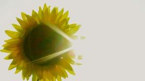 Sunflower Seeds stock footage
