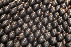 Sunflower seeds texture Stock Photography
