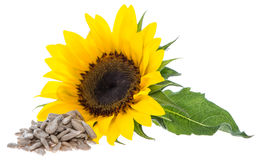 Sunflower with Seeds on white Stock Photography