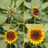 Sunflower. Sequence collage, bud to full bloom stock photos