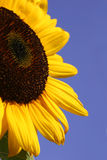 Sunflower Series. Sunflower Up close with blue sky Royalty Free Stock Photography
