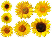 Sunflower Set Royalty Free Stock Photography