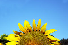 Sunflower set against a blue sky Royalty Free Stock Photo