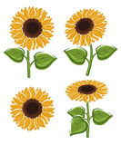 Sunflower set. Vector Royalty Free Stock Images