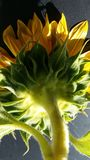 Sunflower in shadow stock photos