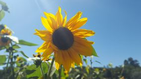 Sunflower shines against clear blue skies. A single sunflower stock photography