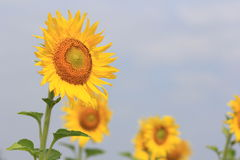 Sunflower shot Royalty Free Stock Images