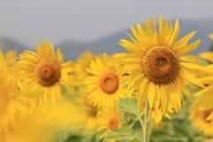Sunflower shot Royalty Free Stock Photo