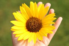 Sunflower si hold in hand of young woman