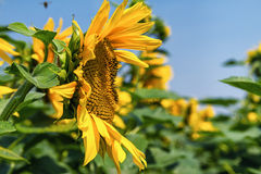 Sunflower from side. Stock Images