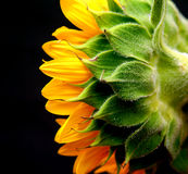Sunflower Side View. Isolated studio shot of a sunflower against a black background royalty free stock photography