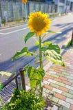 Sunflower on  sidewalk Royalty Free Stock Photography