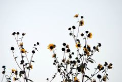 Sunflower Silhouette. A photograph of sunflowers silhouetted against a white sky royalty free stock images