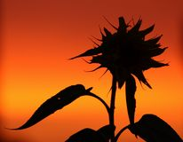 Sunflower silhouette. Silhouette of a sunflower at sunset Royalty Free Stock Photography