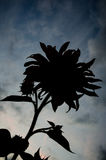 Sunflower silhouette. Blooming silhouette of sunflower in a late summer Stock Photography