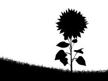 Sunflower silhouette Stock Photo