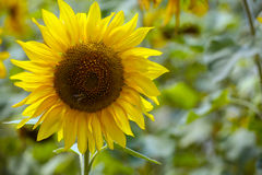 Sunflower single with bee Royalty Free Stock Images