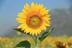 Sunflower. Single sunflower with sunflower field background Stock Photo