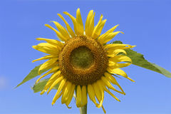 Sunflower-Single flower-close up. Sunflower cultivation- Floriculture- A single flower- Scientific name is Helianthus annuus- seeds yield sunflower oil Stock Photo