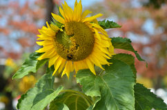 Sunflower. Single Sunflower near Seoul. Green-Yellow Royalty Free Stock Photos