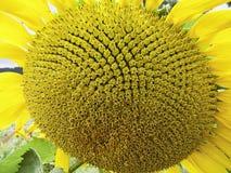 Sunflower. Singlerflower  yellow Stock Photography