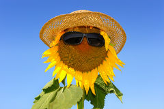 Sunflower-six. A scarecrow in the middle of a field of sunflowers Royalty Free Stock Images