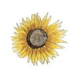 Sunflower skectch  illustration Stock Photo