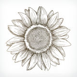 Sunflower sketch, hand drawing, vector illustration Royalty Free Stock Photos