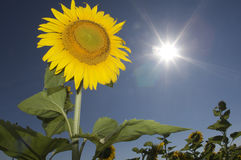 Sunflower in Sky. Sunflower in sun flared sky Stock Photo