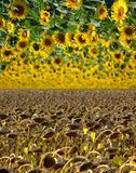 Sunflower sky Royalty Free Stock Images