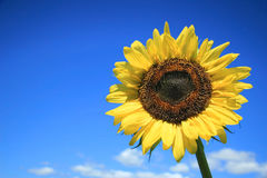 Sunflower and sky Royalty Free Stock Images