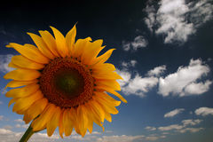 Sunflower and sky. Sunflower field of Turkey. Sunflower close up. Sunflower royalty free stock images
