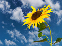 Sunflower and sky Royalty Free Stock Photography