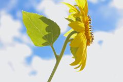 Sunflower Sky. Sunflower with a lightly cloudy blue sky background Royalty Free Stock Photography