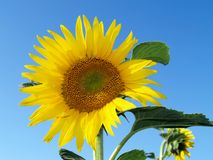 Sunflower in the sky. Picture with sunflower on a sunny day Royalty Free Stock Photo