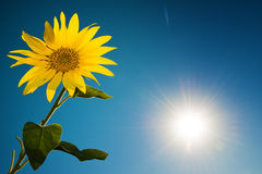 Sunflower and sky Royalty Free Stock Image