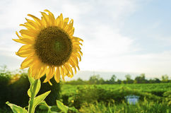 Sunflower is on the sky Stock Images