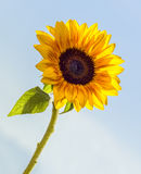 Sunflower in the sky Stock Photos