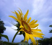 Sunflower. With sky Royalty Free Stock Photo